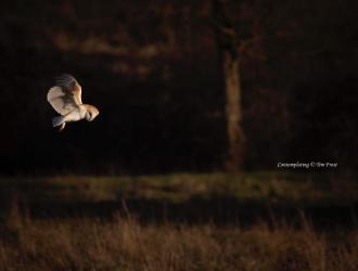 This is the last Barn owl picture of this particular shoot, but it is also my favourite. The Goddess Athena chose it for its Wisdom.